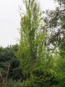 Fagus sylvatica 'Dawyck'