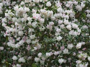 Rhododendron 'Assaye'