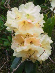 Rhododendron campylocarpum