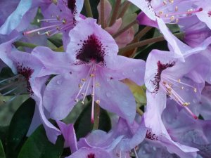 Rhododendron 'Hackmann's Metallica'
