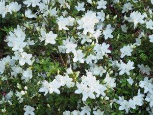Rhododendron x mucronatum