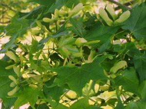 Acer truncatum var. barbinerve