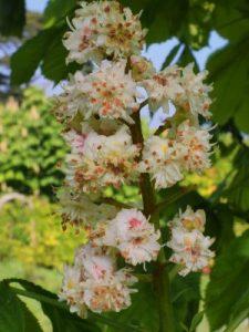 Aesculus hippocastanum 'Baumannii'