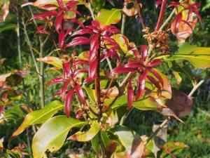 Quercus moorii