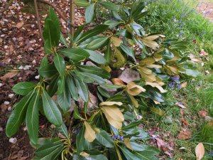 Rhododendron souilenhense