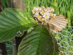 Sorbus hedlundii