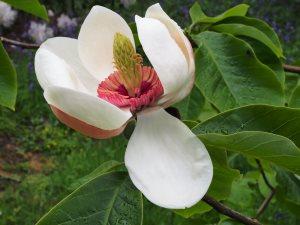 Magnolia x wieseneri