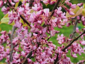 Cercis canadensis 'Flame'