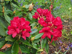 Rhododendron 'Gwilt King'