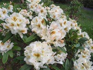 Rhododendron 'Lemon Meringue'