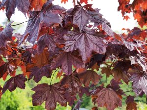 Acer platanoides 'Royal Red'