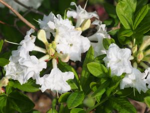 Azalea 'Whitethroat'