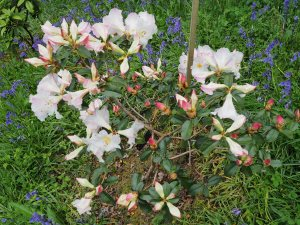 Rhododendron 'Chip Lima'