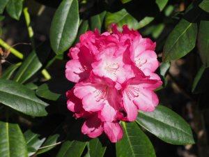 Rhododendron 'Fantasia'
