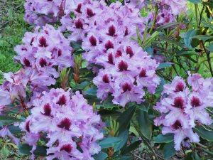 Rhododendron 'Kabarett'