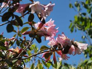Rhododendron royalii 'Caerhays Pink'