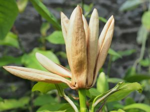 Magnolia fraseri 'Pyramidalis'
