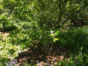 multi-stemmed small tree