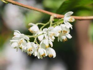 Rehderodendron kweichowense