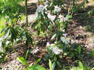 Rhododendron 'Tinkerbird'