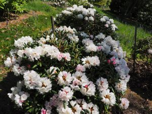 Rhododendron yakusimanum