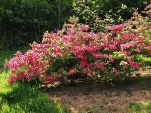 Azalea 'Berryrose'