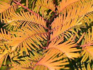 Metasequoia glyptostroboides 'Amber Glow'