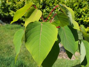 Populus lasiocarpa 'Bolonii'