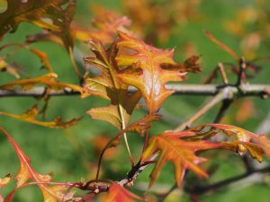 Quercus palustris 'Flaming Suzy'