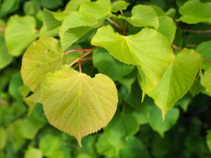Tilia cordata 'Winter Orange'