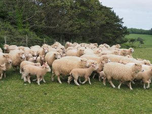 Dorset Cross Sheep