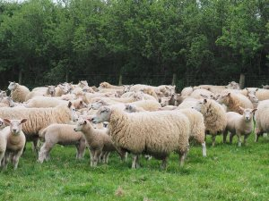 New crossbred batch of ewes