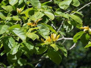 Magnolia acuminata var. subcordata 'Miss Honeybee'