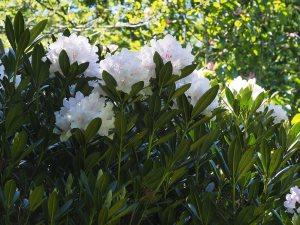 Rhododendron catawbiense 'Album'