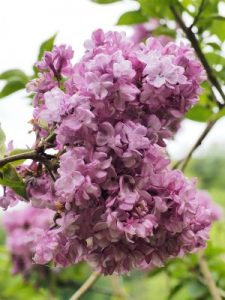 Syringa 'Katherine Havemeyer'
