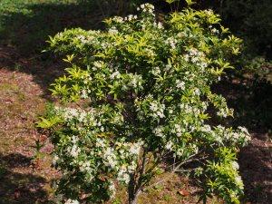 Acradenia frankenii