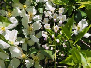Clematis montana 'Grandiflora' and Wisteria 'Caroline'.