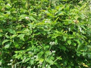 Magnolia tripelata