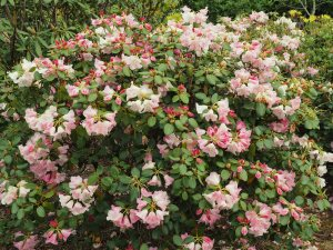 Rhododendron 'Moonstone Group'