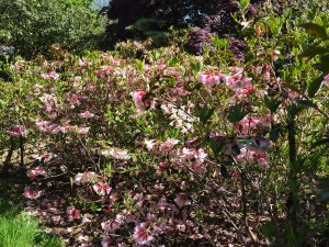 Rhododendron 'Polyroy'
