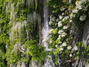 Wisteria floribunda 'Alba' and Rosa banksiae 'Alba Plena'