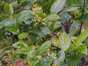 Calycanthus floridus 'Athens'