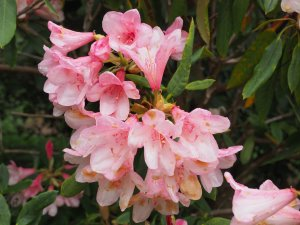 Unknown Rhododendron