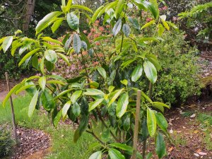 Pittosporum adaphniphylloides