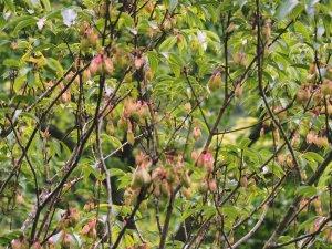 Staphylea holocarpa 'Innocence'
