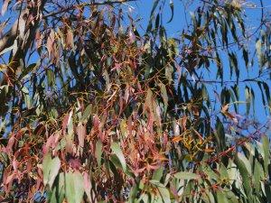 Eucalyptus mannifera var. praecox