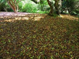 Quercus acuta