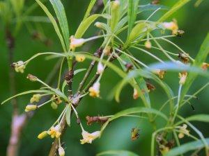 Pittosporum illiciodes f. angustifolium