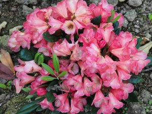 Rhododendron 'Barbarella'