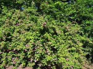 Deutzia x hybrida 'Strawberry Fields'